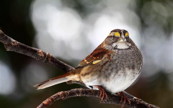 Papéis de Parede Pardal, pássaro, galho de árvore