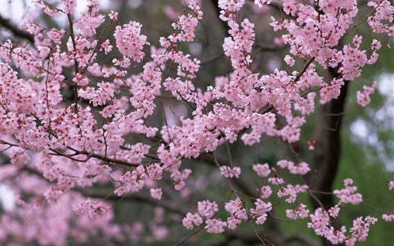 Papéis de Parede Primavera, flores da árvore, flor de sakura rosa