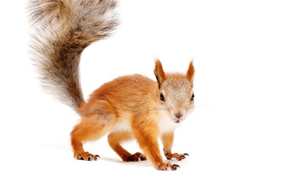 Wallpaper Squirrel, look, tail, white background