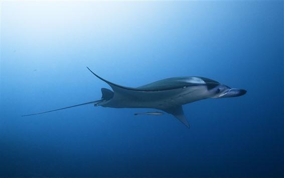 Wallpaper Stingray, underwater, sea
