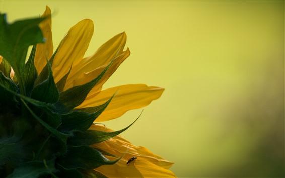 Wallpaper Sunflowers, petals macro photography