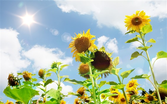 Wallpaper Sunflowers, sky, glare, white clouds, summer