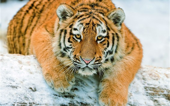 Wallpaper Tiger look at you, snow, face, rest