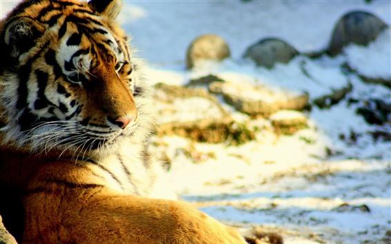 Обои Тигр оглянуться назад, отдых, снег, дикая природа