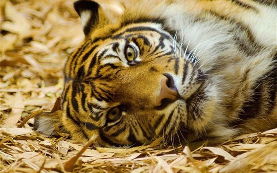 壁纸 老虎,休息,面部,表情,鼻子,眼睛