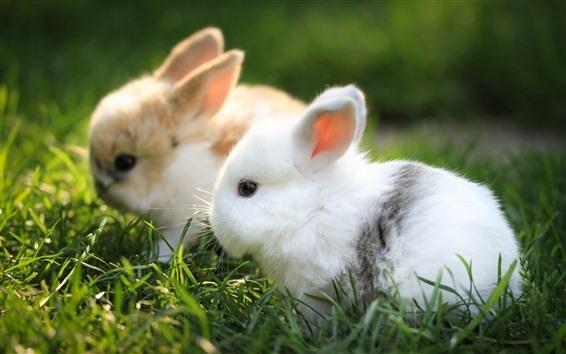 Papéis de Parede Dois coelhos, animal de estimação bonito, grama