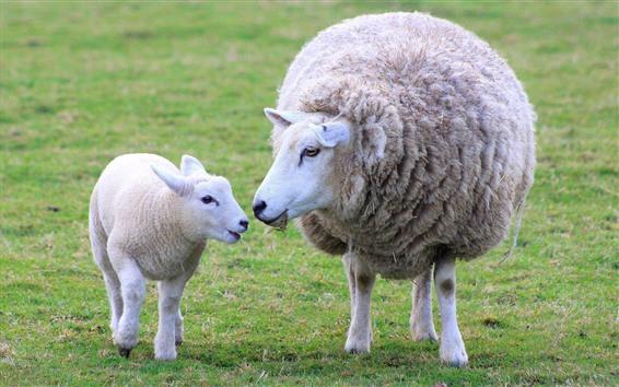 Wallpaper Two sheep, lamb
