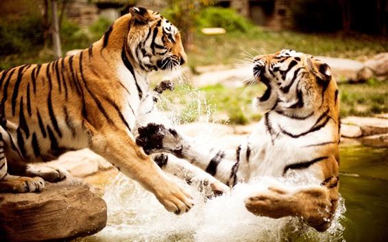 Обои Два тигра играют в воду
