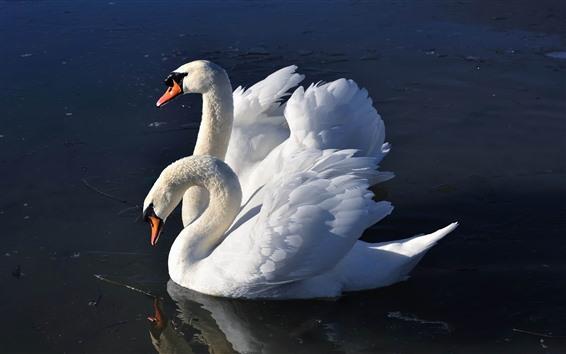 Обои Два белых лебедя, озеро, крылья