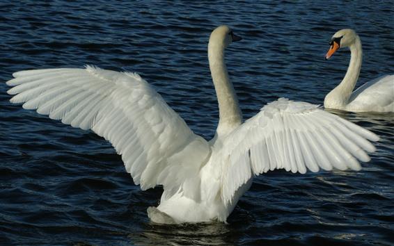 Обои Два белых лебедя, игра, пруд
