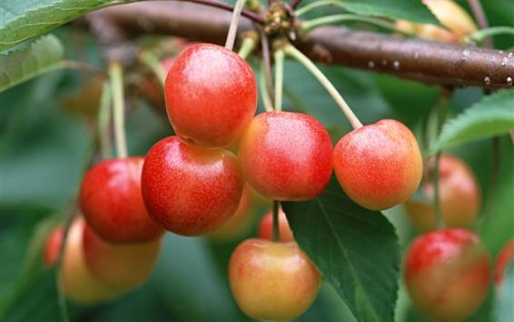 Обои Незрелые вишни, фрукты