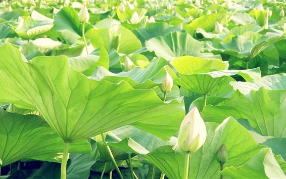Papéis de Parede Botões de flores de lótus branco, folhas verdes