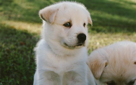 배경 화면 흰 강아지, 귀여운 애완 동물