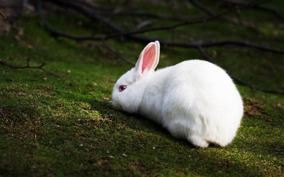 배경 화면 흰 토끼, 자고 싶어