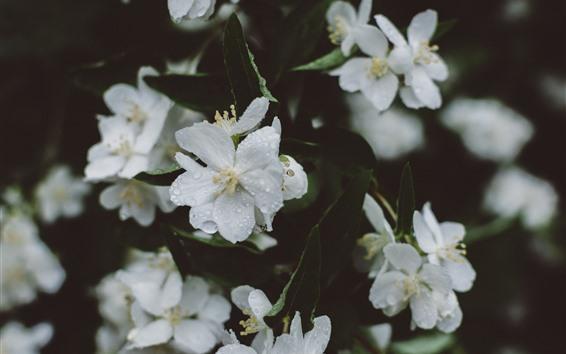 Papéis de Parede Sakura branco, flores, gotas de água