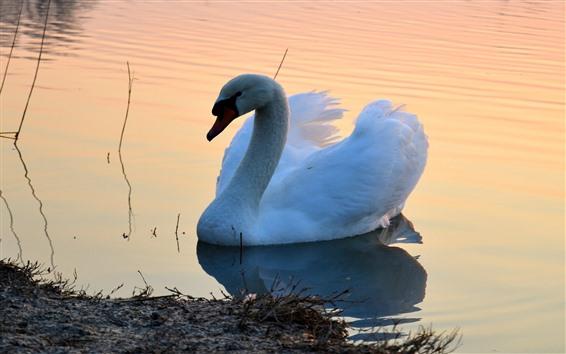 Обои Белый лебедь, пруд, утро