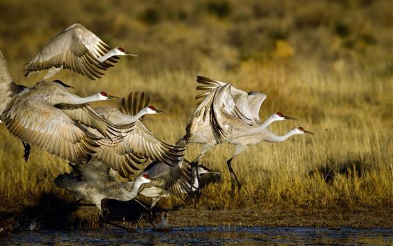 壁紙 野生動物、鳥の飛行、沼