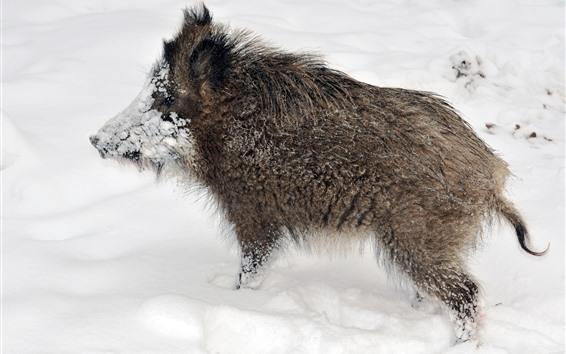Papéis de Parede Vida selvagem, javali, neve, inverno