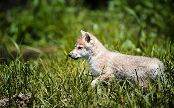 Papéis de Parede Filhote de lobo caminhar na grama