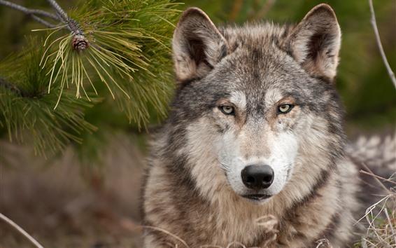 Обои Волк, вид спереди, взгляд, живая природа