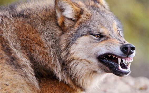 Обои Волк, зубы, рот, лицо, живая природа