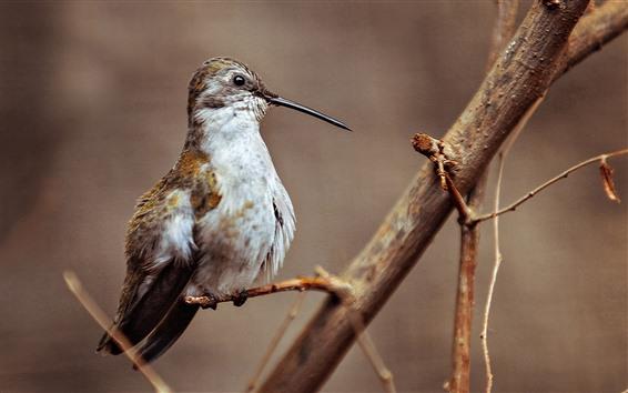Wallpaper Woodpecker, long beak, tree branch