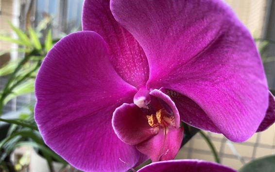Papéis de Parede Phalaenopsis rosa linda, flores, pétalas