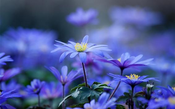 Wallpaper Blue purple flowers close-up, spring