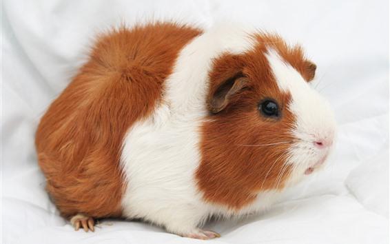 Papéis de Parede Porquinho fofo, animal de estimação, fofo