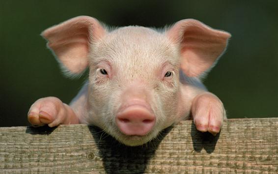 壁紙 かわいい子豚、あなたを見て、顔、鼻