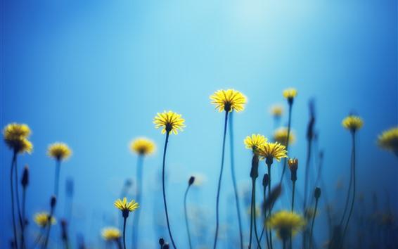 Fond d'écran Pissenlits, fleurs jaunes, fond bleu