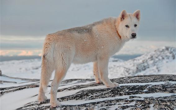 Обои Собака оглянуться назад, зима, снег
