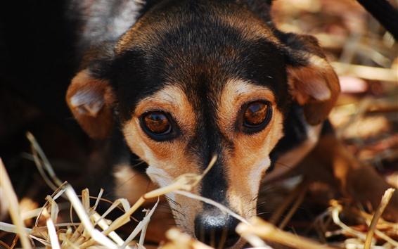 Обои Собака, отдых, лицо, глаза, взгляд