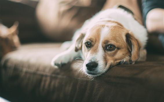 Обои Собака, диван, комната