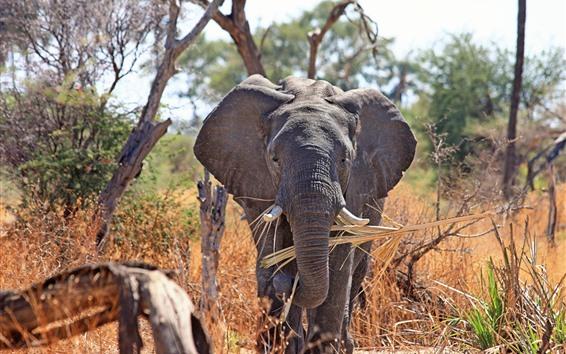 壁紙 象の正面図、鼻、アフリカ