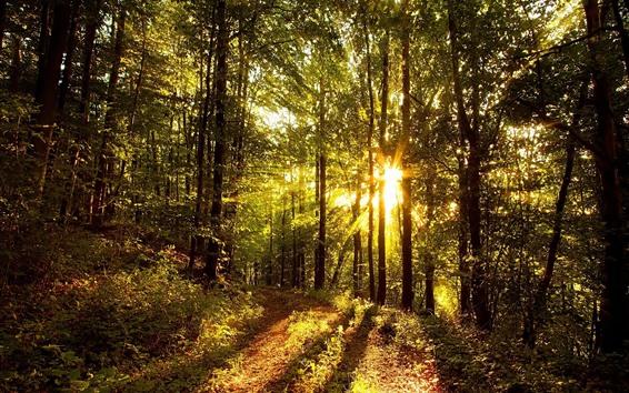 Wallpaper Forest, trees, sun rays, glare, path