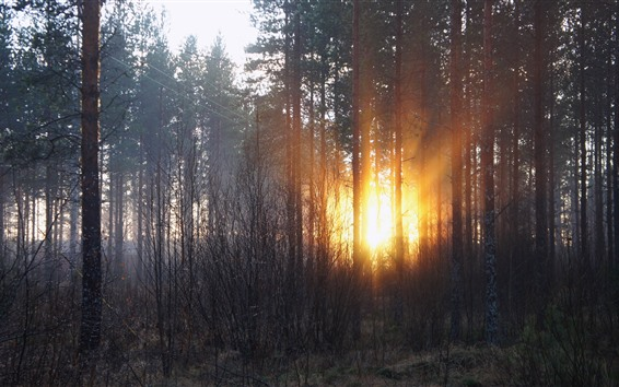 Wallpaper Forest, trees, sun rays, sunset, winter