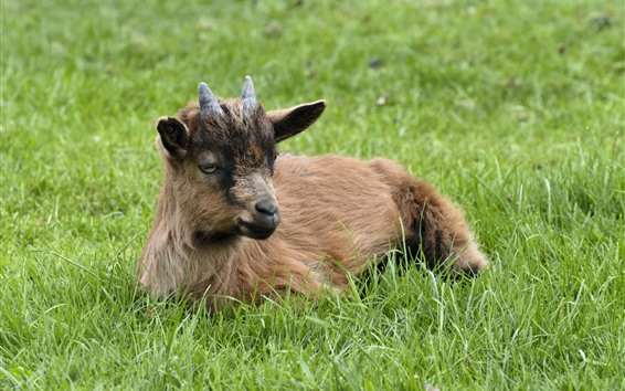 Обои Коза, рога, зеленая трава