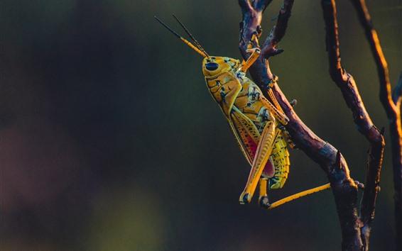 Обои Кузнечик, насекомое, ветка дерева