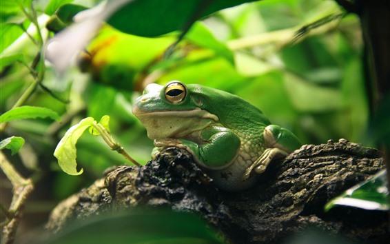 Papéis de Parede Sapo verde, folhas, animais