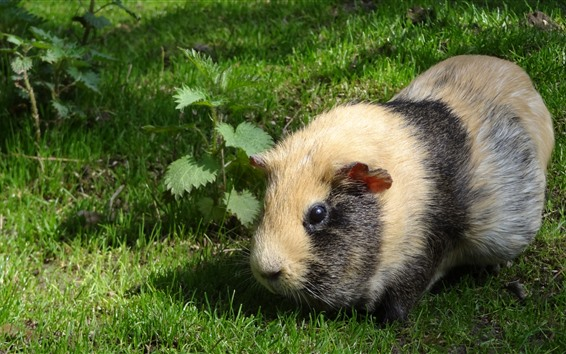Wallpaper Guinea pig, grass