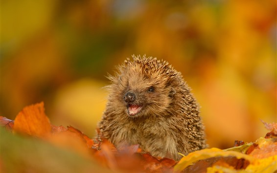 Wallpaper Hedgehog, wildlife, yellow leaves, autumn