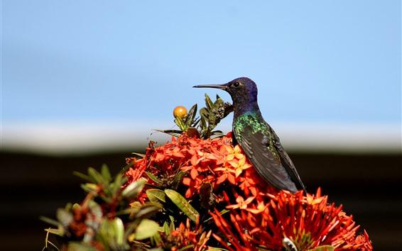 Papéis de Parede Beija-flor, pássaro, flores vermelhas