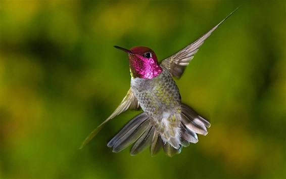 Papéis de Parede Beija-flor voando, asas, cauda