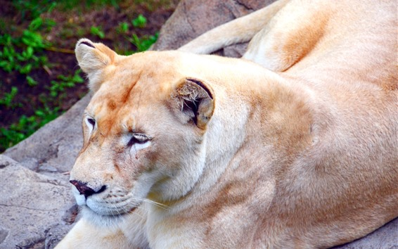 Обои Львица, покой, хищник