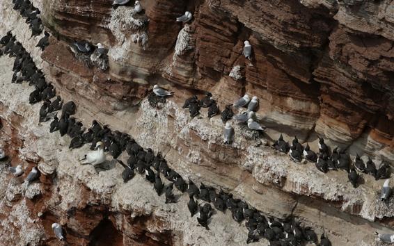 壁紙 多くの鳥、カモメ、岩壁
