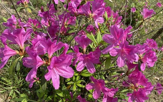 배경 화면 많은 분홍색 진달래, 꽃, 공원