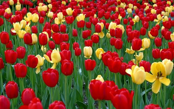 Papéis de Parede Muitas tulipas vermelhas e amarelas, jardim