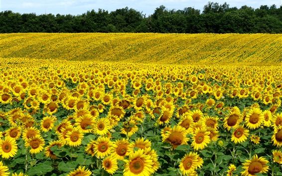 배경 화면 많은 해바라기, 들판, 노란 꽃