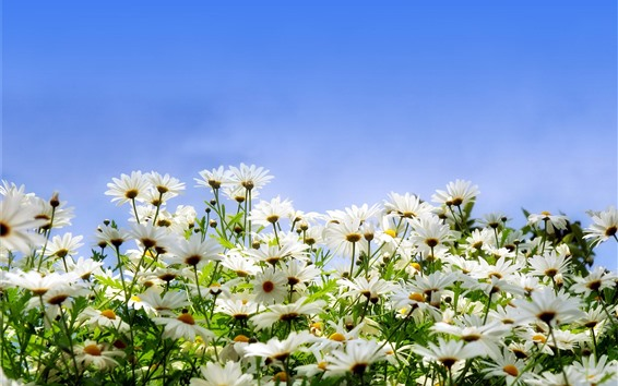Wallpaper Many white daisies, petals, blue sky